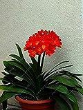 Vere bulbi di clivia, pianta di clivia, bulbi di Fiori, (Non Semi di clivia), Fiori perenni, Radici bulbose – 20 Pezzi 5