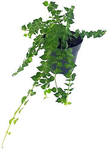 Fangblatt - Dischidia ruscifolia - herzblättrige Urnenpflanze - exotische Zimmerpflanze für den besonderen Flair Zuhause