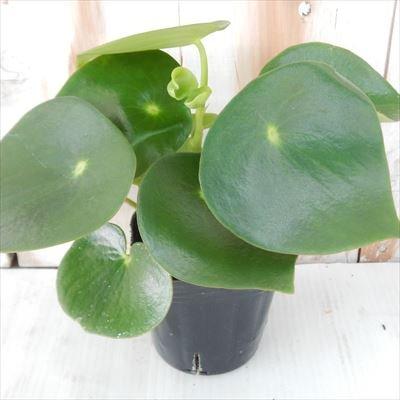 ペペロミア ジェイド (観葉植物・葉アート・9cmポット)