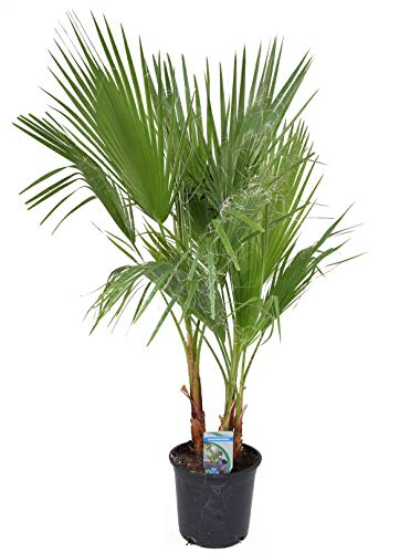 Washingtonia filifera 2-3 Stämme 100-120 cm T18 Petticoat-Palme Zimmerpflanze
