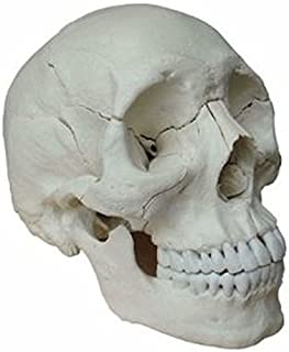 Wellden Medical Anatomical Adult Osteopathic Skull Model, 22-Part, Life Size, Bone Color