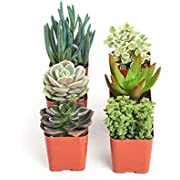 "Shop Succulents | Unique Collection of Live Succulent Plants in 2"" Grower Pots, Hand Selected Variety Pack of Mini Succulents 