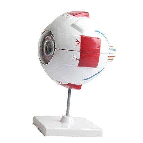 yotijar Modelo Anatómico Ojo Globo Ocular Estudio Educativo Herramienta Educativa