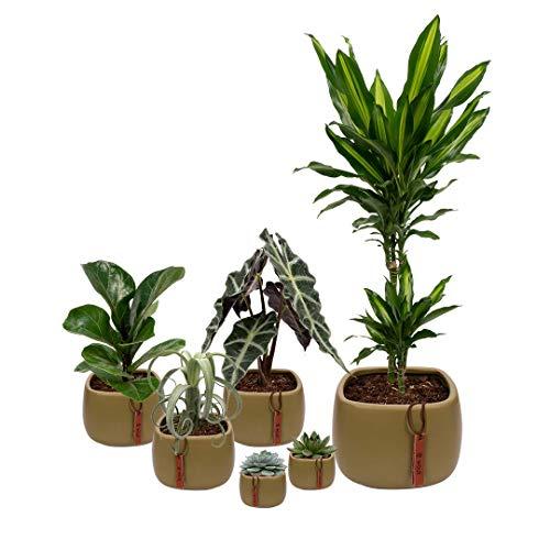 Set van 6 planten met bijpassende groene plantenpotten - kamerplanten voor binnen met verschillende groottes - Kurt
