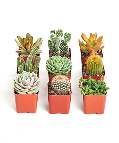 Instant Cactus/Succulent Collection - 8 Plants 2' pots