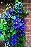 Vistaric ¡Venta! 1 uds bombillas de clematis real (no semillas de clematis) bulbos de flores hermosas plantas trepadoras flores perennes bonsai planta en maceta 17