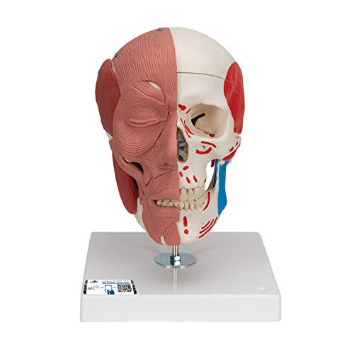 3B Scientific A300 Cráneo con Músculos Faciales - 3B Smart Anatomy, Clásico
