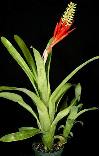 PLAT FIRM GERMINATIONSAMEN: Bromeliad Aechmea Nudecaulis Exotische tropische Pflanze