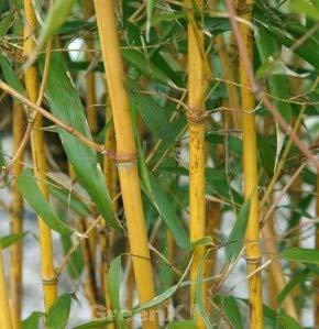 Goldener Peking Bambus 80-100cm - Phyllostachys aureocaulis