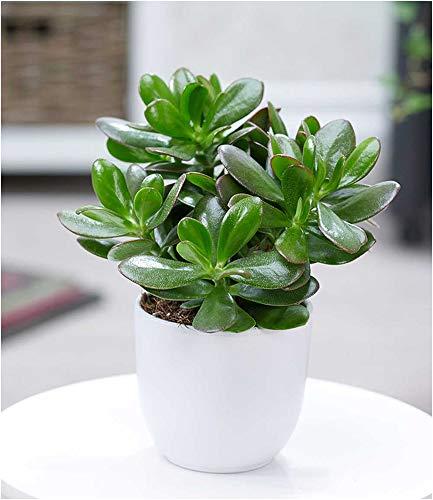 BALDUR Garten Geldbaum Crassula, 1 Pflanze Zimmerpflanze pflegeleicht Zimmerpflanze