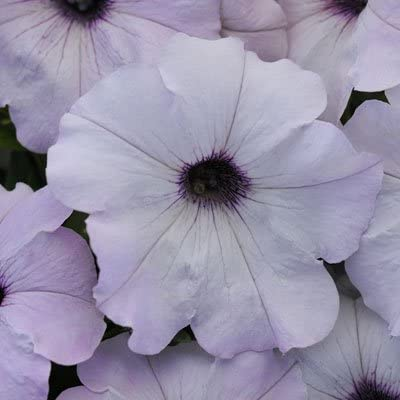 Petunia Easy Wave Silver Pelleted Special price for a limited time 100 Seed Inexpensive Flower Seeds