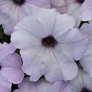 Petunia Easy Wave Silver Pelleted Flower Seed 100 Seeds