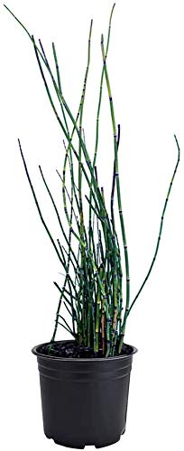 AMERICAN PLANT EXCHANGE Horsetail Reed Equisetum hyemale Live Plant, 6' Pot,...