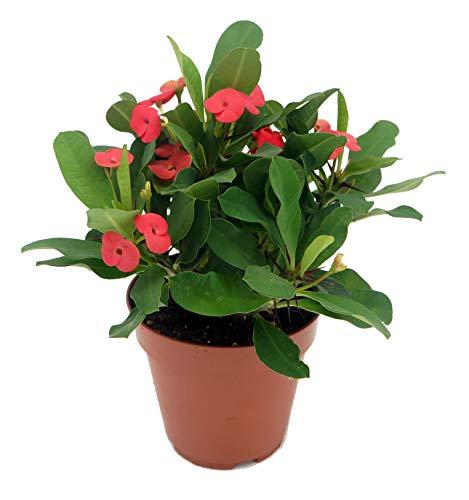 Christusdorn (Euphorbia millii), im 12cm Topf, (Sorte: Vulcanus, rot)