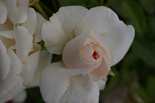 Beetrose Aspirin® Rose - Rosa Aspirin® Rose - weiß - Duft+ -Tantau-Rose - ADR-Rose Preis nach Stückzahl 2 Stück