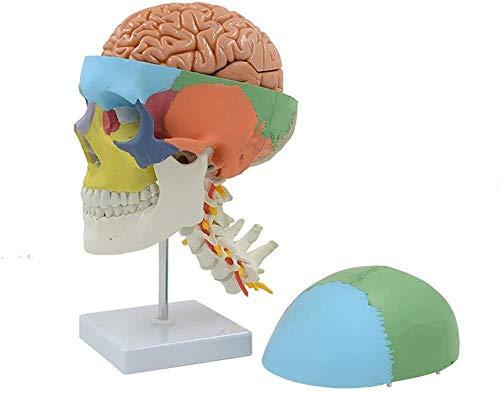 Simulierte anatomisches Modell Menschlicher Schädel mit Halswirbel Anatomisches Modell mit 7 Halswirbelsäule, auf Stativ for Wissenschaft Klassenzimmer Studie anzeigen Menschliches Organ Modell