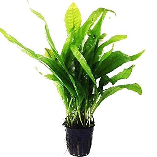 Greenpro Microsorum Pteropus Java Fern Tall Full Potted Live Aquarium Plants Decorations Freshwater Fish Tank