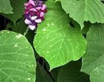 SVI 20 Stück Pueraria lobata Kudzu Pflanzensamen