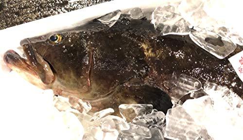 クエ【たまくえ】 (活じめ・養殖)約2.5kg前後 刺身用【高級魚・うまいもの市場活じめシリーズ】高級料理店、高級居酒屋・こだわりの店などでお使いいただいております【冷蔵便】