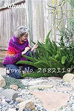 Grande vente ! 60 Pcs sétaire Graines, sétaire Ferns Bonsai vivace Fleurs croissance naturelle des plantes ornementales Semences à gazon pour le jardin 10