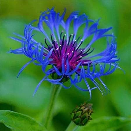 100 pcs Bee Balm Spotted Rare Perennial Blue Flower Seeds for Planting Outdoors Gumse11