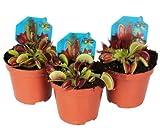 Trio de Plantas Carnívoras Venus Atrapamoscas Dionaea Muscipula Pack de 3 Unidades...