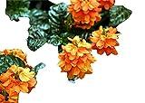 Crossandra infundibuliformis, Firecracker, 10 Samen