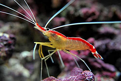 【海水魚・エビ】 スカンクシュリンプ ■サイズ:3cm± (3匹)
