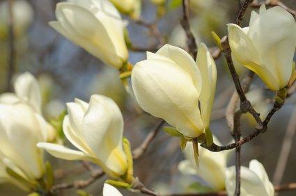 Magnolie Magnolia Virginiana Sumpfmagnolie Rarität 3 Samen