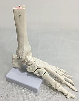 Human Foot Bone Model Foot Sole Foints of Foot Ankle Tibia and Fibula Foot Model Department of Orthopedics