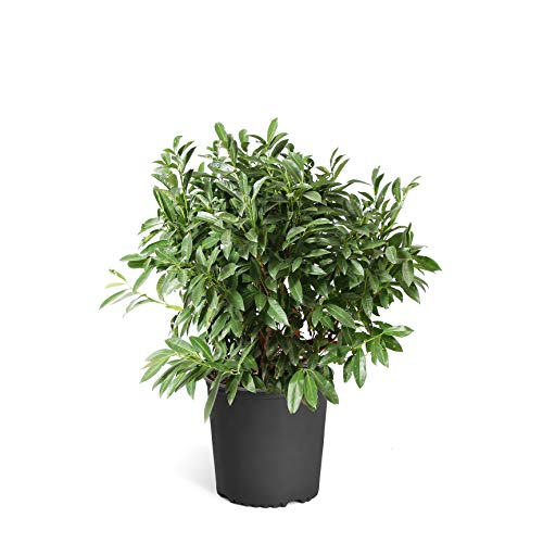 Brighter Blooms Skip Laurel Shrub- The Ultimate Easy-Care Hedge | Grows in The Shade | Luxurious, Glossy Foliage | No Shipping to...