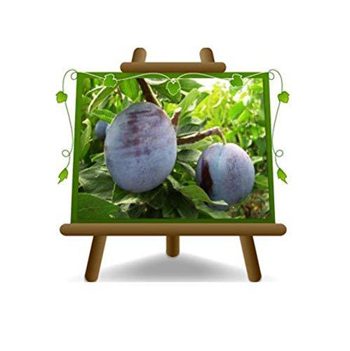 Susini Grossa di Felisio - Pianta da frutto portainnesto mirabolano su vaso da 26- albero max 200 cm - 4 anni