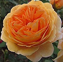 Crown Princess MARGARETA - 5.5lt Potted David Austin Shrub or Climbing Garden Rose - Fragrant Golden Yellow Blooms