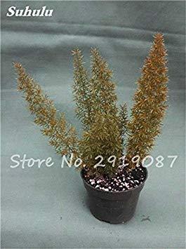 Belle sétaire Graines Plantes vivaces Bonsai extérieur arc-en-Fleur Croissance naturelle graminée Beauté Votre jardin 100 Pcs 10