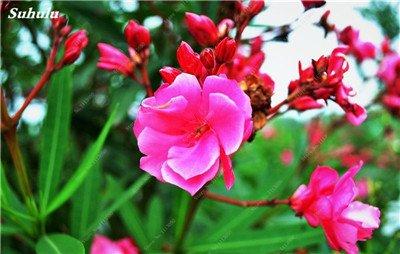 150 Pcs Nerium Graines Oleander plantes en pot semencier japonais Jardin Décoration Bloom Graine Facile à cultiver purifient l'air 10
