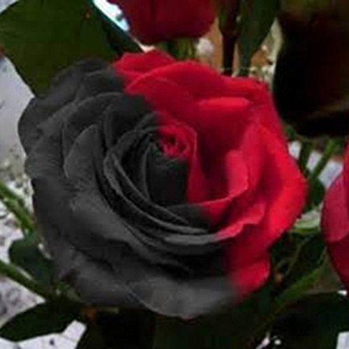 150PCS Rose Flower Seed Hollande Rose Graines amant cadeau arc-RARE 25 exotiques couleurs au choix de bricolage pour les plantes de jardin à domicile 1