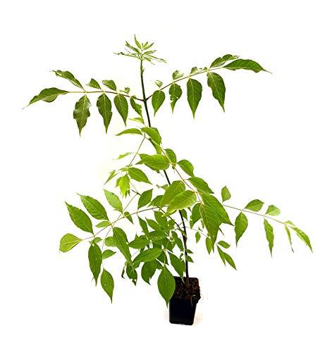 Seedeo® Bienenbaum (Euodia hupehensis) ca. 25 cm