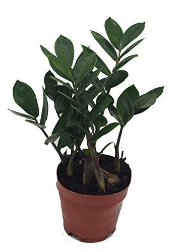 Glücksfeder, (Zamioculcas zamiifolia), Zamie, Zamia Farn, Zamia Palme, pflegeleichte Zimmerpflanze (ca. 35cm hoch, 12cm Topf)