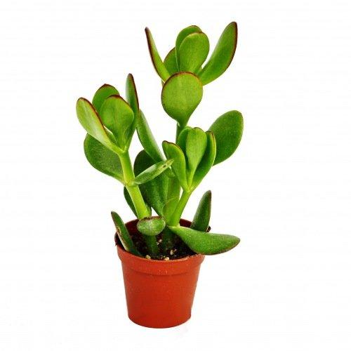 Exotenherz - Crassula portulacea - Geldbaum - im 5,5cm Topf