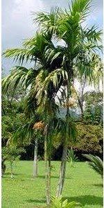 Shop Meeko Areca triandra Palma 10 Seedsplant
