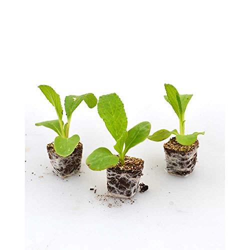 Kräuterpflanzen - Borretsch/Boris - Borago officinalis - 3 Pflanzen im Wurzelballen