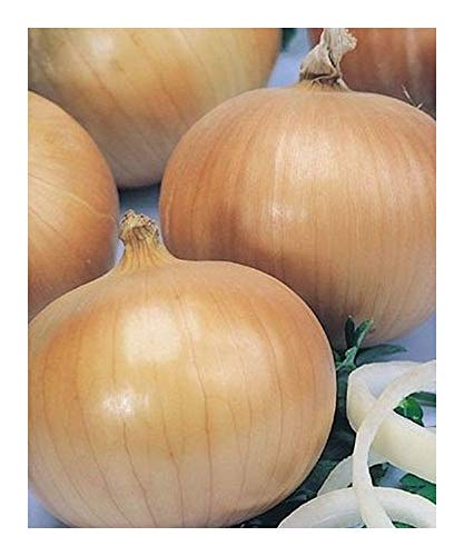 Allium cepa giant - Oignon géant - 20 graines