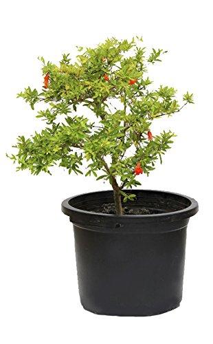Outlet Garden - Granado Enano - Punica Granatum. Árbol Frutal Natural, Altura: 50 Centimetros Aproximado, Contenedor: 25 Cm. Envios Solo Peninsula