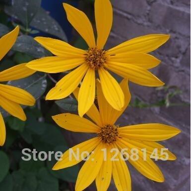 100pcs / lot Silphium (Silphium Perfoliatum) Perennial Futterqualität Samen Bonsai Pflanze DIY Hausgarten