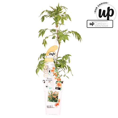 Oranje trompet bloem - klimtrompet - Campsis Summer Jazz Indian Summer - 60-80cm pot 2Ltr.