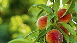 Best dwarf peach belle of georgia Reviews
