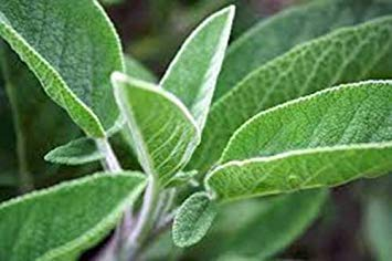Shopvise Sage semences, large feuille, Heirloom, organiques, non OGM, 500 graines, Sage Herb, Spice