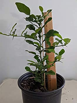 Kaffir Lime Tree 7-12 inches  from Seed