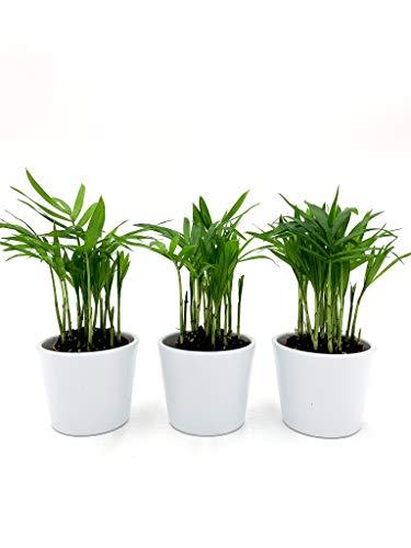 Mexikanische Bergpalme | Palme | Zimmerpflanze | Luftreinigend | Haustierfreundlich | Chamaedorea elegans | Topf ⌀6 cm | Höhe 15 cm (3, mit Topf