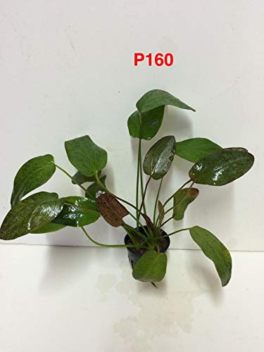 Gesunde Live-Wasser Frische Wasserpflanze Echinodorus 'Red Flame' Topf P160